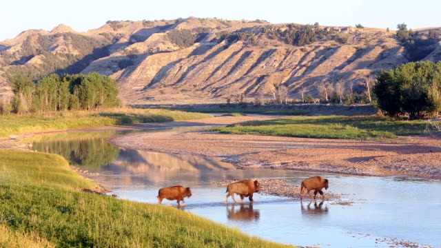 WS Bison crossing Little Missouri River at Theodore Roosevelt National Park / North Dakota, United States