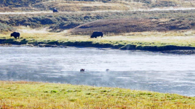 WS Bison (Bison bison) crossing Yellowstone River in Hayden Valley of Yellowstone National Park, Wyoming, USA