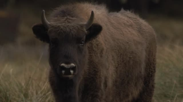 bison cub - rind stock-videos und b-roll-filmmaterial