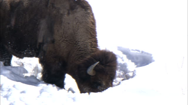 stockvideo's en b-roll-footage met a bison digs through the snow to find food. - foerageren