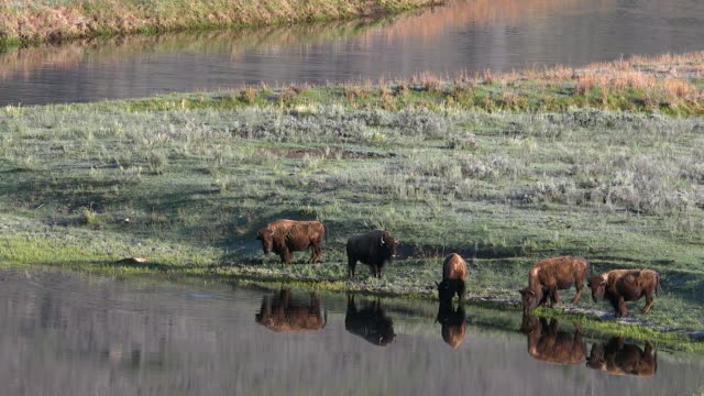 Bison drinking near Slough Creek, reflections, Spring in Yellowstone National Park, Wyoming