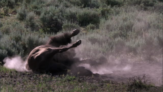 bison (bison bison) dust bathes on prairie, yellowstone, usa - rolling stock videos & royalty-free footage