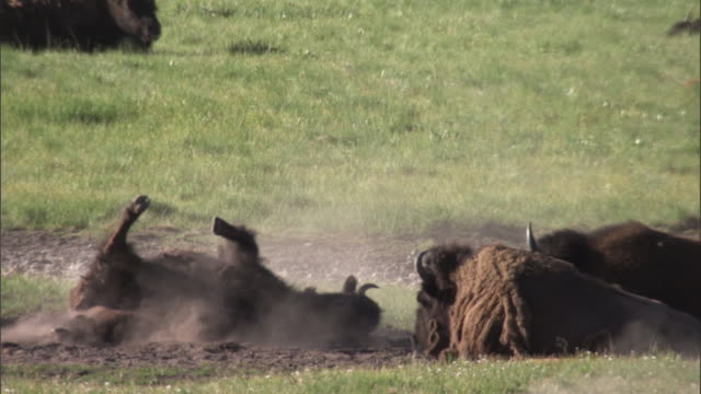 bison (bison bison) dust bathes, yellowstone, usa - rolling stock videos & royalty-free footage