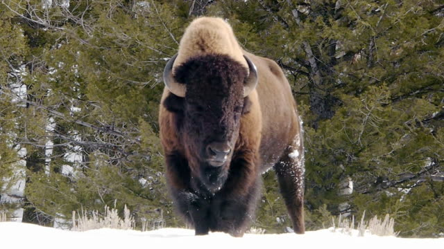 Bison facing camera, snorting misty breath, Yellowstone National Park, Wyoming, in winter