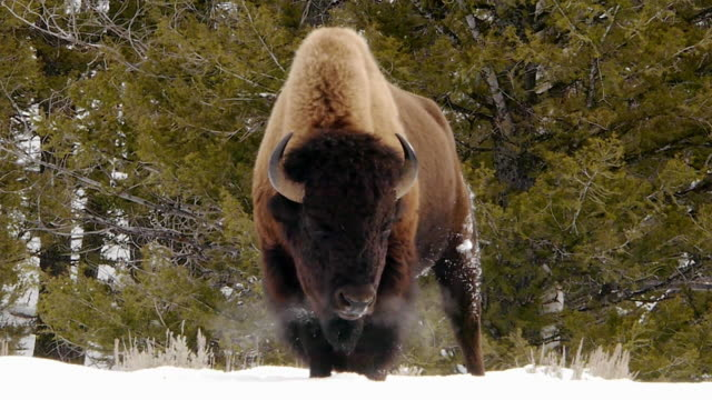 vídeos de stock e filmes b-roll de bison facing camera, snorting misty breath, yellowstone national park, wyoming, in winter - bisonte americano