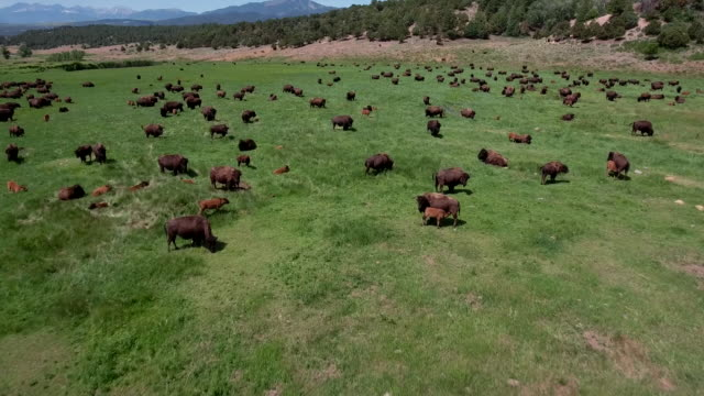 vídeos de stock e filmes b-roll de bison fly over medium buffalo - 4k drone tracking aerial view wildlife herd hunting, deer, elk, bison, hawk, buck, cows, bird, buffalo, directors choice, editors choice, magic hour, sun flare, grassland, epic - búfalo africano