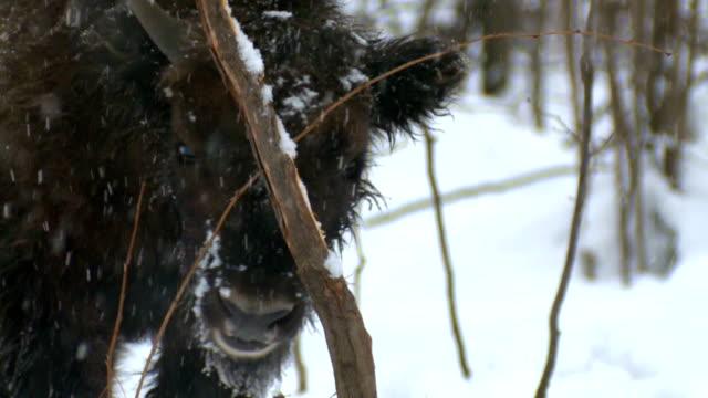 bison gnawing バーク - 木肌点の映像素材/bロール