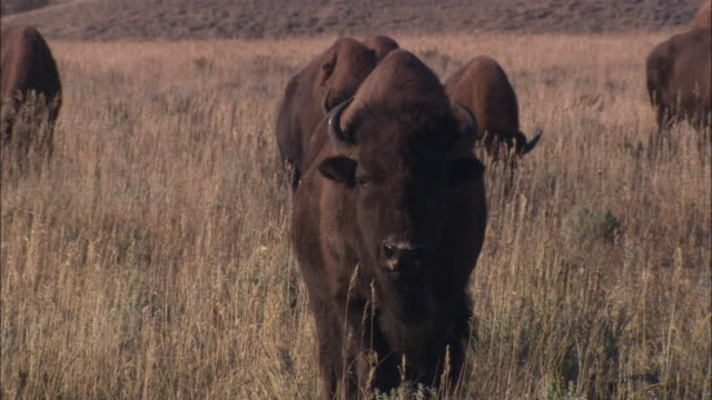 bison graze in a grassy field. - wyoming stock videos & royalty-free footage