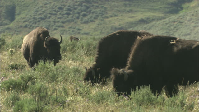 stockvideo's en b-roll-footage met bison graze in a grassy meadow in yellowstone national park. - yellowstone national park
