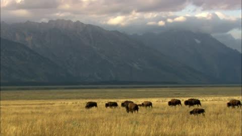 bison graze in a grassy valley in grand teton national park. - 美洲野牛 個影片檔及 b 捲影像