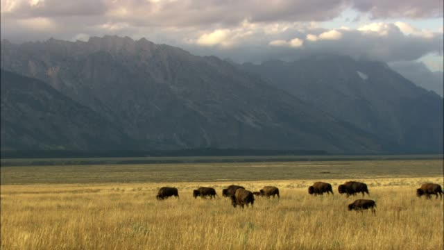 vídeos de stock e filmes b-roll de bison graze in a grassy valley in grand teton national park. - parque natural