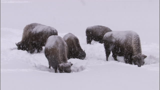 bison (bison bison) graze in deep snow, yellowstone, usa - american bison stock videos & royalty-free footage
