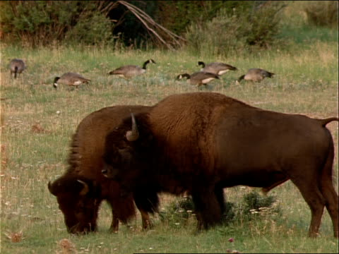 bison graze near canadian geese. - canada goose stock videos & royalty-free footage
