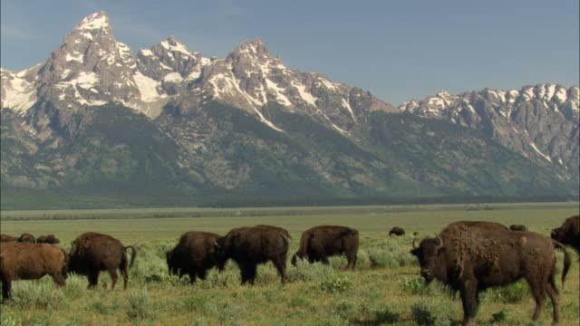 bison graze on a grassy prairie near teton range. - prairie stock videos & royalty-free footage