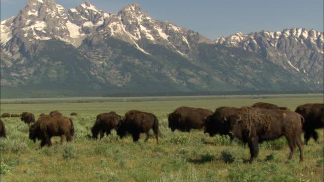bison graze on a grassy prairie near the teton range. - グランドティトン国立公園点の映像素材/bロール