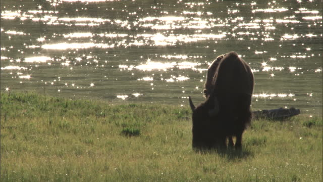 bison (bison bison) grazes by yellowstone river, yellowstone, usa - wyoming stock videos & royalty-free footage