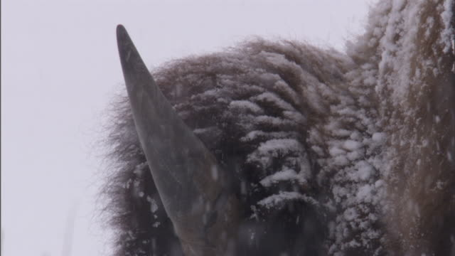 bison (bison bison) grazes in snow, yellowstone, usa - american bison stock videos & royalty-free footage