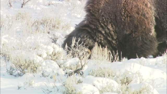 a bison grazes on a snow-covered plain. - american bison stock videos & royalty-free footage