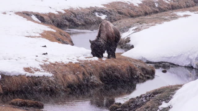 bison grazing along river, snow falling, yellowstone national park, in winter - american bison stock videos & royalty-free footage