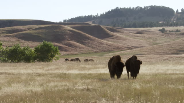 WS PAN Bison grazing and walking on grassy field / Wind Cave National Park, South Dakota, United States