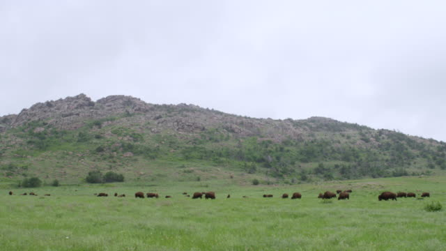 ws bison grazing in green meadow / wichita mountains wildlife refuge, oklahoma, united states - 自然保護区点の映像素材/bロール