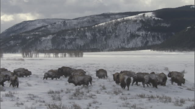 bison (bison bison) grazing in snow, yellowstone, wyoming, usa - american bison stock videos & royalty-free footage