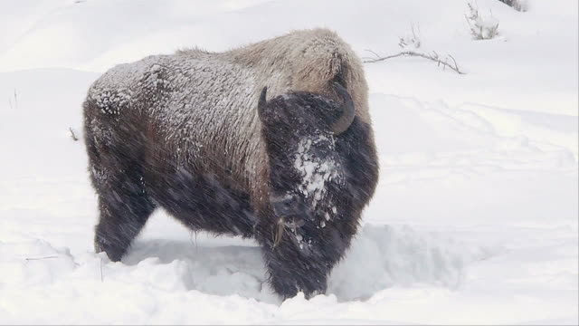 Bison grazing in snowstorm along river, Yellowstone National Park, Wyoming, in winter