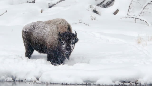 vídeos de stock e filmes b-roll de bison grazing in snowstorm along river, yellowstone national park, wyoming, in winter - bisonte americano