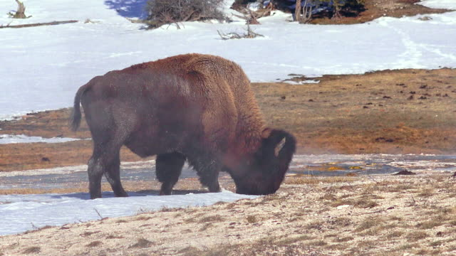 bison grazing in steamy meadow, yellowstone national park, in winter - american bison stock videos & royalty-free footage