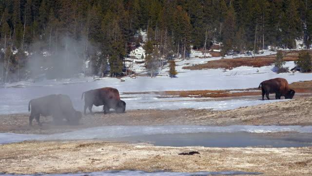 vídeos de stock e filmes b-roll de bison group grazing in steamy meadow, yellowstone national park, in winter - piscina térmica