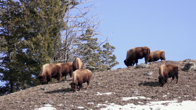 Bison group grazing on hilltop, Yellowstone National Park, in winter