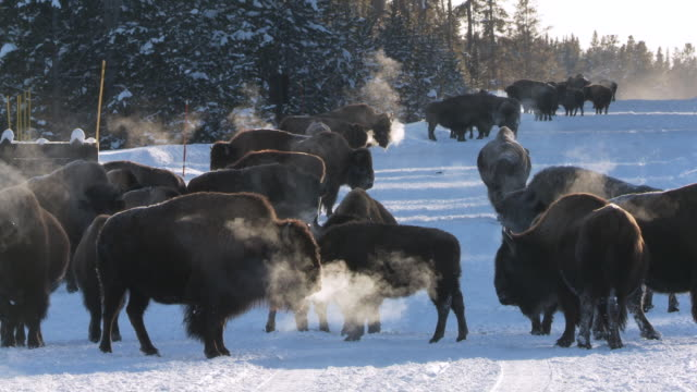ms bison group standing on road in snowy landscape / yellowstone national park, wyoming - yak stock videos & royalty-free footage