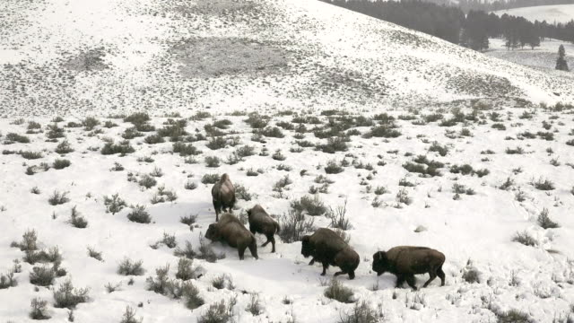 bison group struggling to walk through deep snow, yellowstone national park, in winter - american bison stock videos & royalty-free footage
