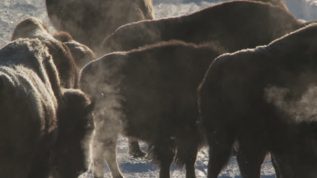 MS Bison group walking in snowy landscape with lots of steam from hot springs / Yellowstone National Park, Wyoming
