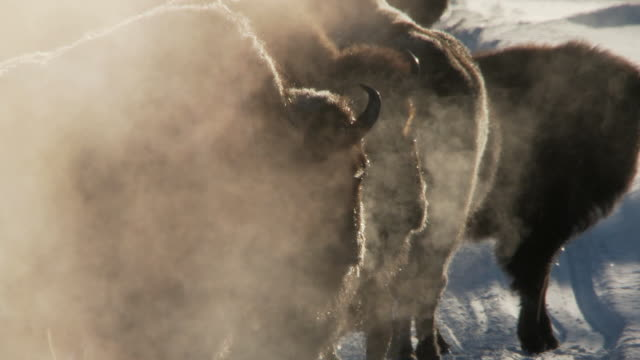 MS ZO Bison group walking in snowy landscape with lots of steam from hot springs / Yellowstone National Park, Wyoming