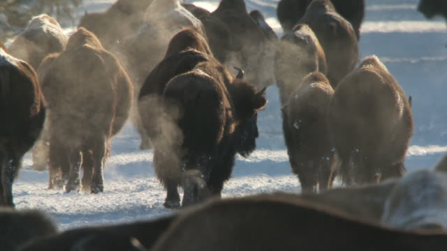ms zo bison group walking in snowy landscape with lots of steam from hot springs / yellowstone national park, wyoming - yak stock videos & royalty-free footage