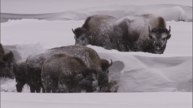 """vidéos et rushes de bison (bison bison) herd grazes by stream in snow, yellowstone, usa - """"bbc natural history"""""""