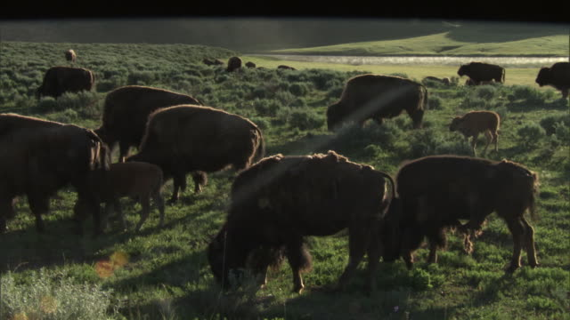 bison (bison bison) herd grazes by yellowstone river, yellowstone, usa - river yellowstone stock videos & royalty-free footage