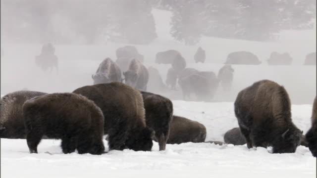 Bison (Bison bison) herd grazes in snow storm, Yellowstone, USA