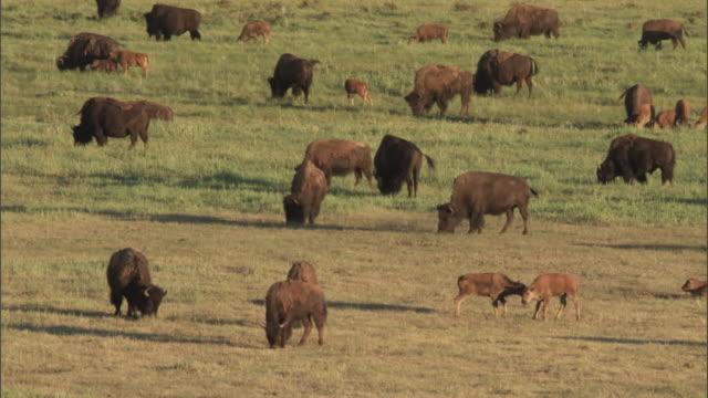Bison (Bison bison) herd grazes on prairie, Yellowstone, USA
