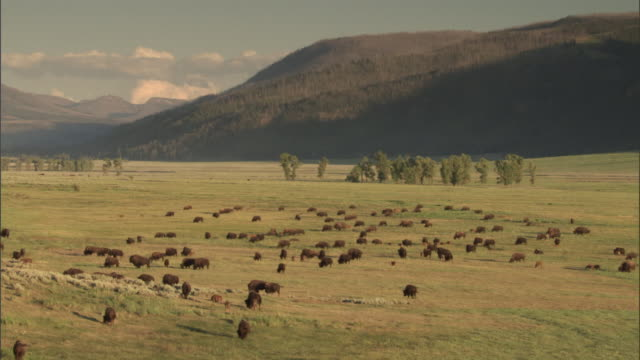 Bison (Bison bison) herd grazes on prairie, Yellowstone, USA