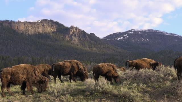 bison herd grazing in sagebrush, yellowstone national park, wyoming - セージブラッシュ点の映像素材/bロール