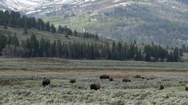 bison herd grazing on sagebrush hillside, yellowstone national park, wyoming - セージブラッシュ点の映像素材/bロール
