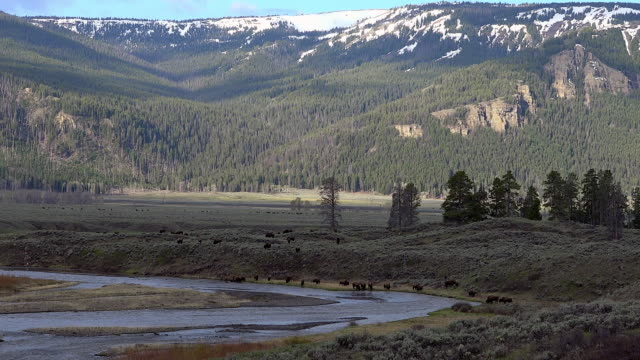 Bison herd in big Lamar Valley landscape, Yellowstone National Park, Wyoming