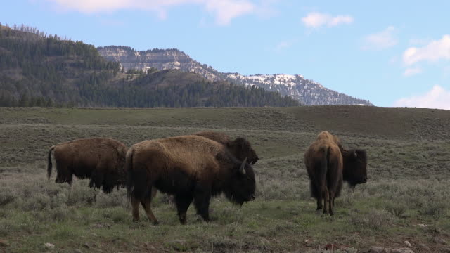Bison herd in meadow, Yellowstone National Park, Wyoming
