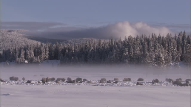 bison (bison bison) herd rests in misty snowy landscape, yellowstone, usa - american bison stock videos & royalty-free footage