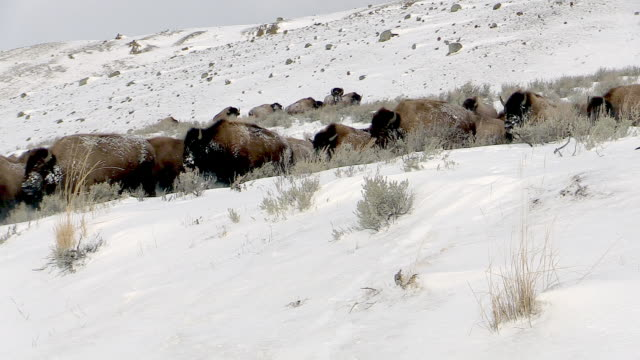 vídeos de stock e filmes b-roll de bison herd running down hill, yellowstone national park, wyoming, in winter - bisonte americano