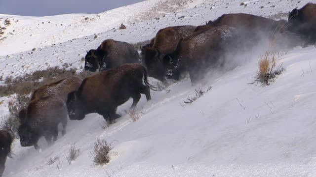 bison herd running downhill, yellowstone national park, wyoming - american bison stock videos & royalty-free footage