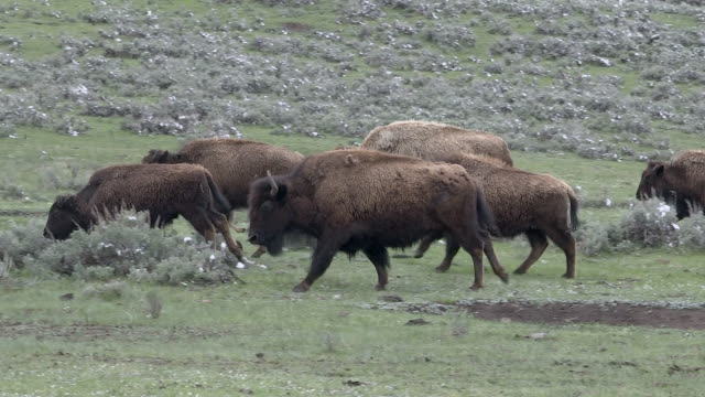 bison herd runs right to left, yellowstone national park, wyoming - アメリカバイソン点の映像素材/bロール