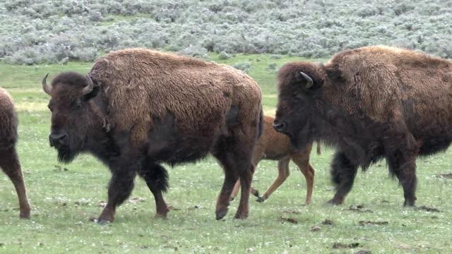 vídeos de stock e filmes b-roll de bison herd runs right to left, yellowstone national park, wyoming - bisonte americano
